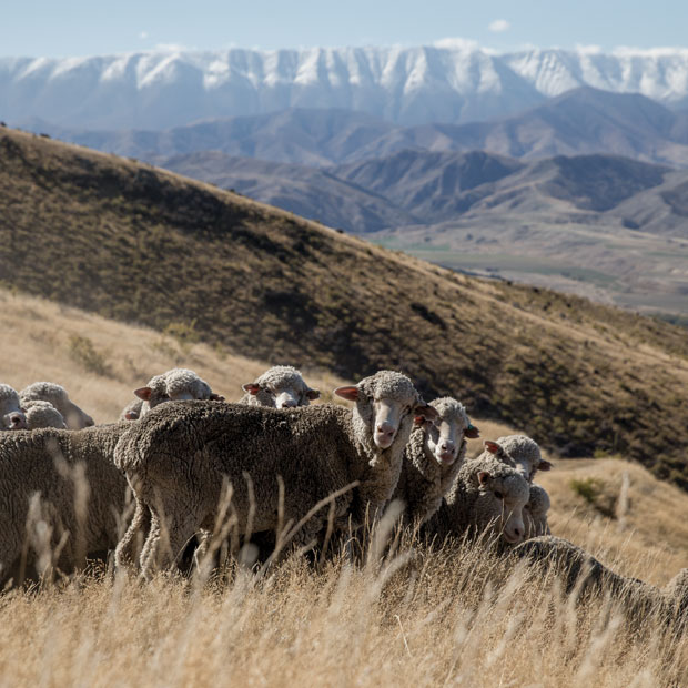 merino sheep looking at camera with snow capped mountain range in the background